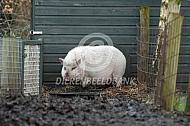 Mini varkens van Katja de Bruin