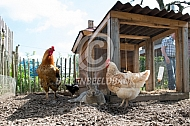Vlaamse reus en kippen