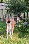 Poitevine geiten bij een hek