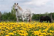 Hongaars trekpaard