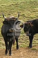 Heckrund koe met kalf