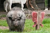 Te dik hangbuikzwijn met borstel