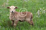 Bruin haarschaap lam