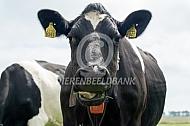 Oude Fries Hollandse koe