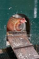 Welsumer kip komt van stok