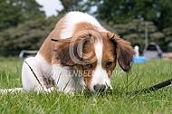 Het kooikerhondje (pup)