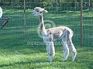Net geschoren alpaca