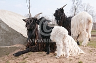 Wallische geiten met lam