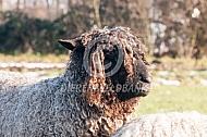 Lincoln longwool schapen