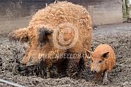 Mangalitza varken met biggen