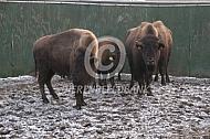 Amerikaanse bizon (Bison bison)