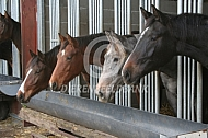 Paarden oip stal in groepshuisvesting