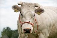 Belgische witblauwe koe