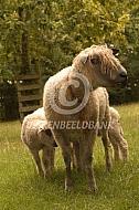 Wensleydale Longwool met lam