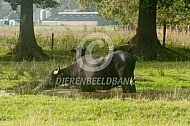 Waterbuffel (Bubalus bubalis)