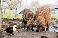 Hongaars wolvarken beer en zeug
