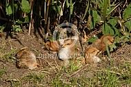 Welsumer kuikens nemen zandbad