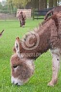 Grazende mini-ezel