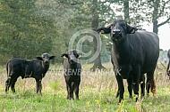 Waterbuffels