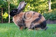 Japanner konijn