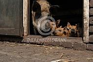 Hongaars wolvarken of Mangalitza met biggen