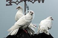 Pauwstaart duiven