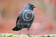 Kauwtje (Corvus monedula)