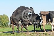 Tochtige koeien (Brown Swiss)