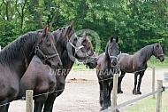 Friese paarden op de paddock