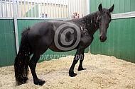 Dwerggroei bij fries paard