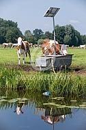 Koeien bij de drinkbak