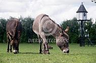 Grazende mini-ezels
