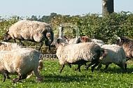 Rennende Drentse heideschapen