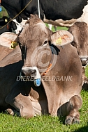 Liggende Brown Swiss
