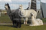 Alpaca en Suri