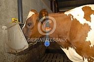 Roodbonte Holstein Friesian bij waterbak
