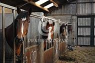 Gelderse paarden op stal
