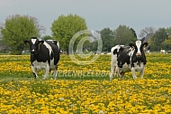 Holstein Friesian melkvee