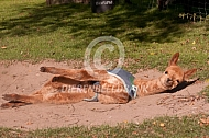 Alpaca veulen (cria) met jasje neemt zandbad