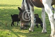 Bont paard met dwerggeiten