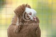 Oud Holandse kapucijn duif