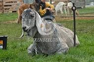 Nubische geit op een keuring