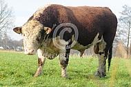 Hereford stier