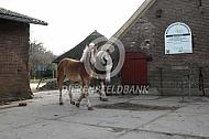 Vlaams paarden naar stal