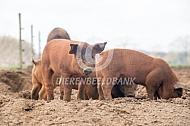 Duroc vleesvarken biggen