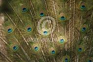 Veren blauwe pauw