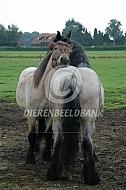 Groomende trekpaarden
