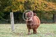 Dexter koe
