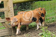 Oxford Sandy and Black varkens