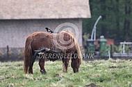 Pony met ekster op haar rug
